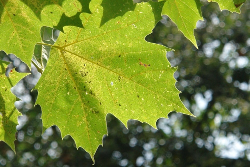 Platanova čipkarica s sesanjem celičnega soka spremeni barvo lista, ni pa usodna za drevo