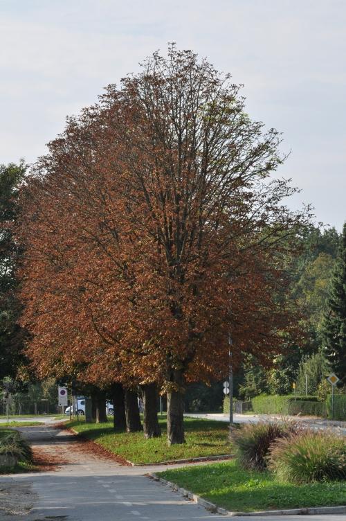 Proti kocu letošnjega poletja so imeli divji kostanji povsem rve liste, ali so taka drevesa še pljuča mesta